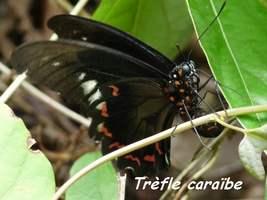 Battus polydamas, papillon, Grande Pointe