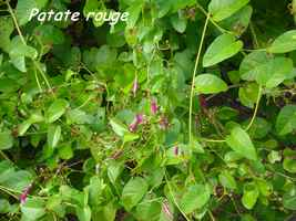 Patate rouge, Jacquemotia solaniflora, Babin