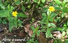 patte à canard, Wedelia trilobata, trace 36 mois, ste rose, basse terre, guadeloupe