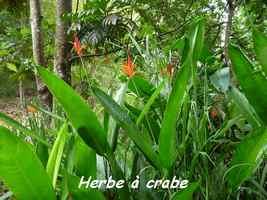Herbe à crabe ou Petit balisier, Heliconia psittacorum, Pointe à Bacchus