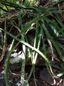 cactus lézard malendure bouillante guadeloupe