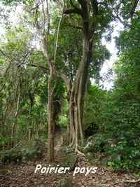 Tabebuia heterophylla, arbre Grande Pointe