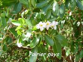 Tabebuia heterophylla, Maisoncelle