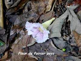 Tabebuia heterophylla, fleur de l`arbre, Grande Pointe