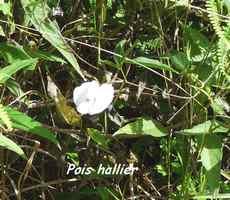 Pois hallier, Centrosema pubescens, Contrebandiers, guadeloupe