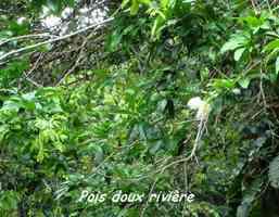 pois doux rivière arbre foret moyenne guadeloupe