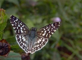 papillon Hesperie , riv Vx Hab,Tonton