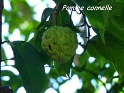 pomme cannelle, arbre, pointe lézard, bouillante, guadeloupe