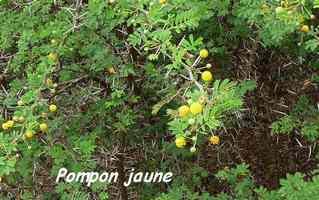 pompon jaune, Acacia tortuosa, anse laborde