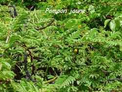 pompon jaune, arbuste, pointe des chateaux, guadeloupe