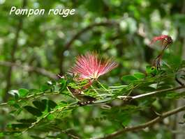 Pompon rouge, Calliandra purpura, Gros Morne