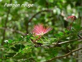 Pompon rouge, Calliandra purpura, Gros Morne