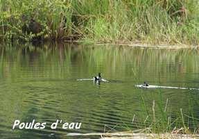 poules d`eau, grand étang, 3 rivières