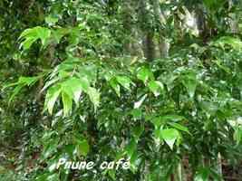 prune café, Bunchosia polystachia, Pointe à Bacchus