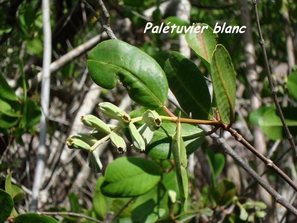 mangrove grande