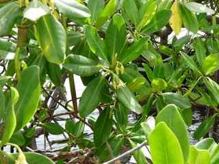 arbre mangrove végétation tropicale antilles