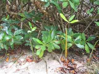 arbre mangrove, végétation tropicale, antilles