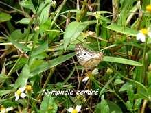papillon foret seche, ecosysteme tropical, guadeloupe, antilles