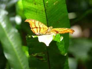 papillon foret tropicale humide antilles