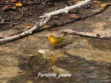 oiseau foret seche, ecosysteme tropiacl, guadeloupe, antilles
