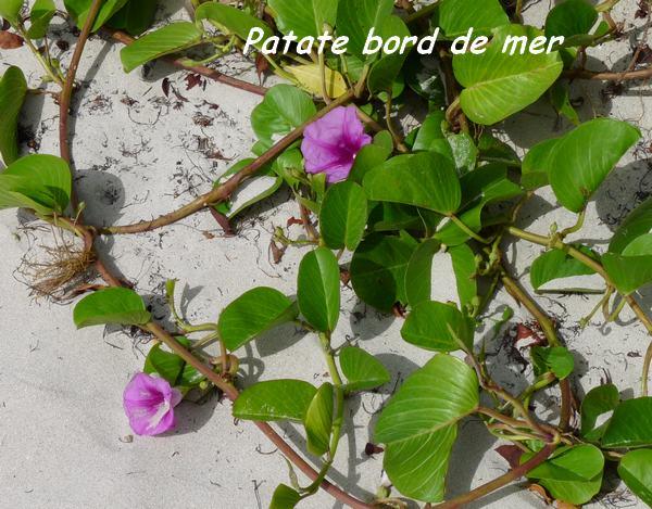 st felix, herbacée L