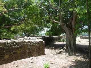 balade ilet cabrit, les saintes, arbre foret seche, gaudeloupe