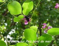 Canavalia rosea, st felix, grande terre, guadeloupe