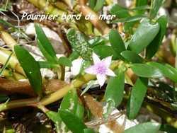 Sesuvium portulacastrum, st felix, grande terre, guadeloupe