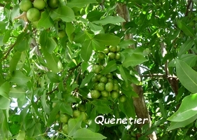 quenetier arbre jardins Guadeloupe