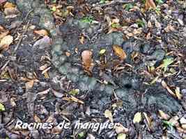 racines manguier, ravine nW Moule