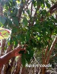 raisin coude, arbuste,terre de bas, guadeloupe