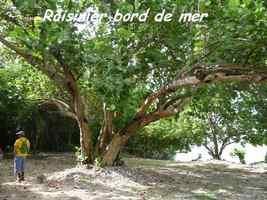 Raisinier, Coccoloba uvifera, Petit Havre