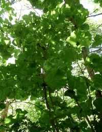 rasinier grandes feuilles, arbre, moule bois baron, grande terre nord , guadeloupe