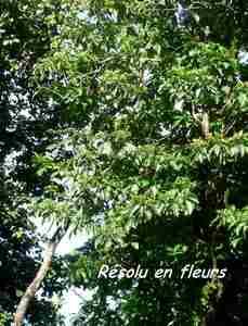 résolu, Chimarrhis cymosa, , nez cassé, st claude, basse terre, guadeloupe