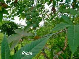 Ricin ou carapate, Ricinus communis, Pointe à Bacchus