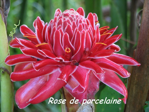 rose porcelaine, L