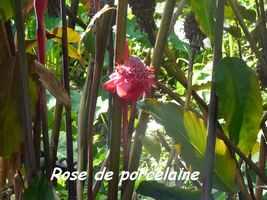 rose porcelaine, Riv D