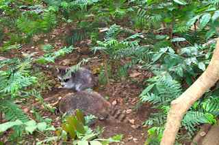 racoon, Procyon minor , mammifère foret tropicale humide antilles