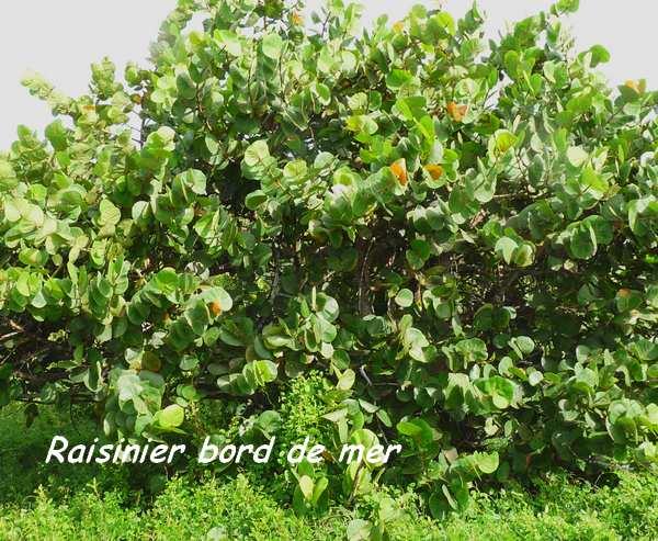 st felix, arbre L