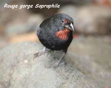 oiseau foret seche, ecosysteme tropical, gaudeloupe, antilles