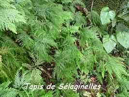 Selaginella flabellata, sélaginelles, Piton de Bouillante