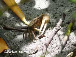 Crabe sémafot, Uca rapax, Petit Havre