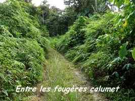 Route forestière ,Dicranopteris pectinata, Contrebandiers, Guadeloupe