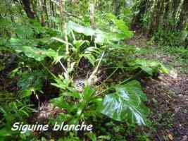 Philodendron giganteum, Siguine blanche, Piton de Bouillante