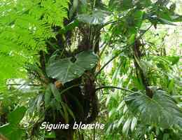 siguine blanche, Philodendrum giganteum , epiphyte, chutes carbet, basse terre sud, guadeloupe