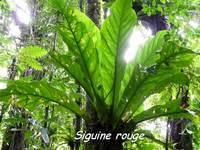 siguine rouge, Anthurium hookeri, épiphyte, madeleine, basse terre sud, guadeloupe
