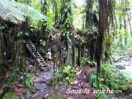 souche d`arbre, chutes moreau, goyave, basse terre nord, guadeloupe