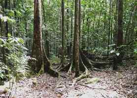 troncs sous bois, trois cornes, nord basse terre, guadeloupe