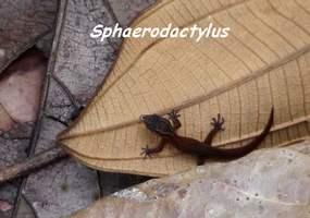 Sphaerodactylus, ravine gras, petit bourg