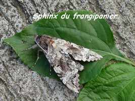 Sphinx, Pseudosphinx tetrio, T de H, Les saintes